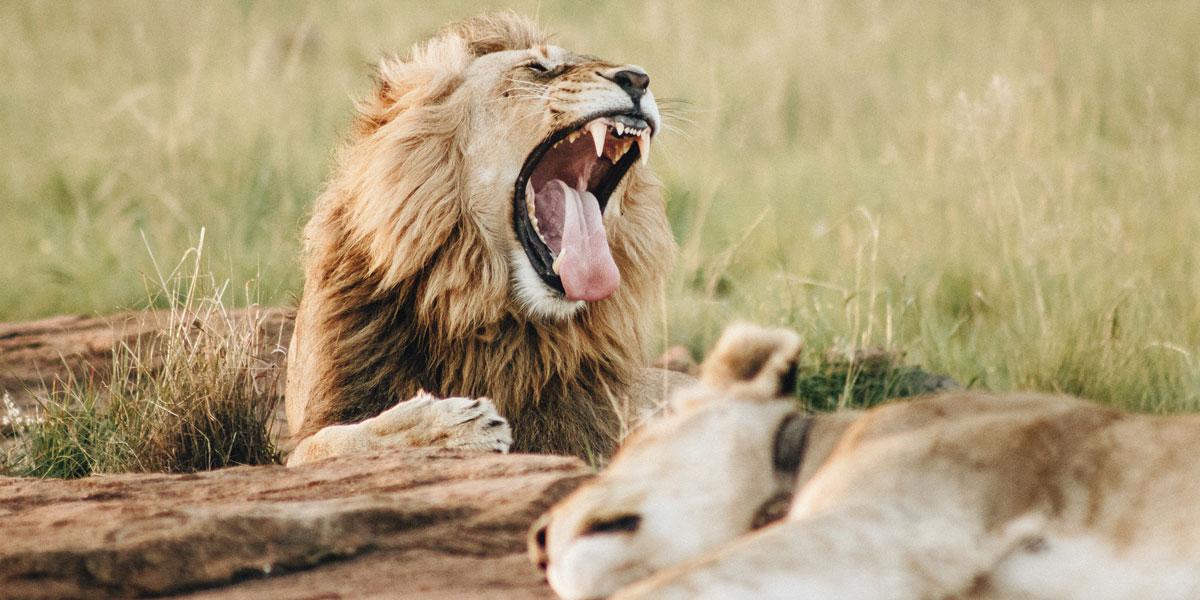 león bostezando