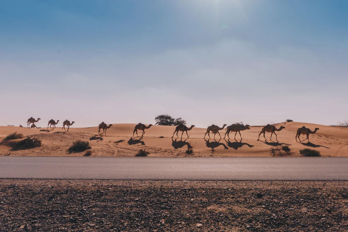 fila de camellos en el desierto